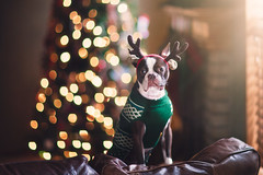 (Rebecca812) Tags: dog bostonterrier cute antlers reindeer christmas santashelper christmastree sweater pet petclothes funny humor twinklelights day animal animalthemes livingroom home