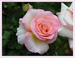 precious rose (MEA Images) Tags: roses gardens rosegarden blooms flora nature parks pointdefiancepark tacoma washington canon picmonkey