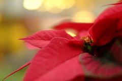modern Christmas to dream of/ (kurupa_m) Tags: christmas poinsettia red plant xt10     hokkaido