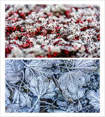 Frosty (Ian Livesey) Tags: silverdale lancashire frosty plants nature leaves berry berries cold winter