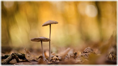 Autumn (Erik v Hassel) Tags: haps erikhaps nikon d5100 nederland holland dutch beautiful fraai excellent flickr view splendid beauty best wonderful fantastic awesome stunning incredible magic nice perfect photo image shot foto lovely mushroom fungi passestoel bos wood forest ngc macro yellow flower close up paddestoel brown moss green helios44m