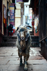 (rabbit7419999) Tags: india travel travelphotography street snapshot goat animal varanasi wiseman