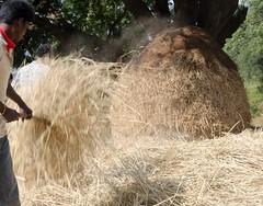 Threshing hay... (ashok kolluru) Tags: araku andhrapradesh visakhapatnam vizag