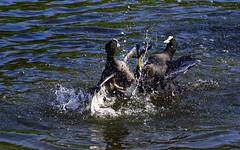 Le printemps des foulques (2) (rencarrre) Tags: foulques etang damoiseaux