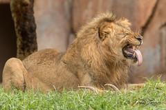 Ernest (ToddLahman) Tags: ernest izu oshana lion lions lioncamp lioncubs escondido sandiegozoosafaripark safaripark canon7dmkii canon canon100400 rain