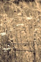Fantaisie (nathaliedunaigre) Tags: fantaisie manipulation processing fence nature herbes wildgrass wildflowers fleurssauvages