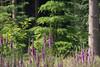 ckuchem-3549 (christine_kuchem) Tags: abholzung baum bienenweide blumen bäume fingerhut holzwirtschaft laubwald lichtung pflanzen spontanvegetation vegetation wald waldlichtung wildblumen wildpflanze wild