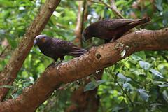 Zealandia ~ Kaka (whitebear100) Tags: kaka zealandia wellington nz newzealand northisland