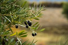 Spain - Granada - Monachil - Los Cahorros Footpath [EXPLORED 2016-Dec-06] (Marcial Bernabeu) Tags: marcial bernabeu bernabéu spain españa andalucía andalucia andalusia granada monachil cahorros footpath path trail sendero aceituna aceitunas olive olives tree olivo drop gota