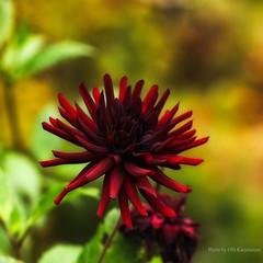 Red flower (Olli Karjalainen) Tags: calendar calvendo bright red strong