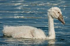 The big kids are also getting bigger (rdroniuk) Tags: birds swan swans cygne cygnets waterbirds oiseaux muteswan cygnusolor cygnus cygnetuberculé oiseauxdeau