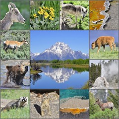 Yellowstone & Grand Teton National Park - animals, thermal features & Mount Moran (V. C. Wald) Tags: mosaic wildlife yellowstonenationalpark mountmoran flickrtoys grandtetonnationalpark geothermalfeatures
