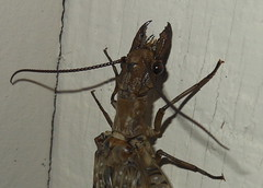 Satanic Vampire Bug (clyde7995) Tags: macro animals closeup forest insect weird pennsylvania vampire poconos predator satanic dobsonfly