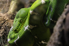 Swirling Snake (Rikardsdotter) Tags: trip white holiday tree green eye scale animal animals yellow museum canon eos zoo aquarium branch sweden stockholm snake branches scales swirl skansen openair swirling 550d canoneos550d rikardsdotter holmstromphotography annacajsaholmstrm