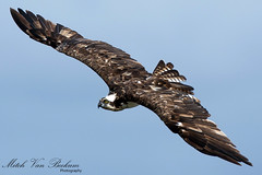 Osprey In Flight (Mitch Vanbeekum Photography) Tags: maryland oceancity osprey pandionhaliaetus oceancitymd ospreyinflight canon5dmkiii canonef500mmf4is canon14teleconvertermkiii