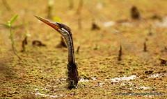 ALGAE DARTER. (prakash_subbanna) Tags: india algae karnataka rajasthan snakebird bharathpur prakashsubbanna algaedarter