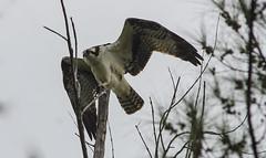 Osprey spreads his wings (ramkumar999) Tags: park nature birds nikon florida miami wildlife ad nikkor barnes ai osprey f35 400mm winspan d7000