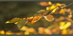 Leaves are Turning (pollylew) Tags: tree leaves autumncolours copperbeech earlyautumn beechleaves