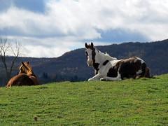 IMG_1912e (Ullysses) Tags: autumn horses canada fall automne quebec venosta cheveau westernquebec townshipoflow