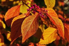 Eclat d'automne (mamietherese1) Tags: nature coth greatphotographers natureitsbest fantasticnature impressedbeauty goldcollection filmfree creativemindsphotography slicesoftime awesomeblossoms sensationalcreationsofexcellence alittlebeauty sublimemasterpiece coth5 phoeniximmortal bestofshining shiningexcellence