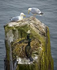 Gulls and Cormorants. (david newbegin) Tags: birds cormorants gulls northumberland farneislands northeastengland