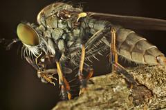 Side to Side (Manyund Photography) Tags: lighting macro digital print indonesia eos diy small eat robberfly diffuser sangatta macromarvels extube macrodreams