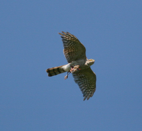 "Sparrowhawk • <a style=""font-size:0.8em;"" href=""https://www.flickr.com/photos/30837261@N07/10722419655/"" target=""_blank"">View on Flickr</a>"