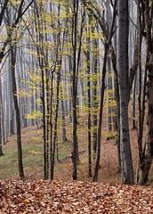 megül a csend a fákon / silence in the forest (debreczeniemoke) Tags: november autumn tree forest silence beech fa bükk ősz erdő csend weöressándor canonpowershotsx20is nagybányakörnyéke