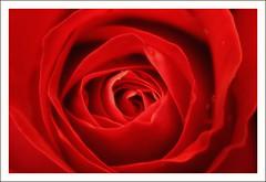 Fiore 148 (Outlaw Pete 65) Tags: flowers autumn light red macro nature rose closeup garden petals nikon italia rosa natura fiori autunno rosso petali brescia lombardia luce giardino sigma105mm d300s nikond300s mygearandme vision:text=0574 vision:sunset=0503 vision:outdoor=0721