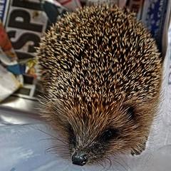 Making A Hedgehog House