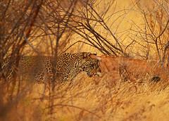 Head to head with a leopard! (Rainbirder) Tags: kenya samburu africanleopard pantherapardus beisaoryx oryxbeisa oryxbeisabeisa rainbirder