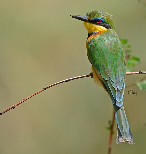 Little Bee-eater - 0928b+