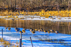 Ducks on ice (jahman3000) Tags: trees winter snow reflection ice forest river illinois woodlands footprints ducks maples dupageriver