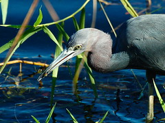 Little blue heron with little fish (Carly & Art) Tags: park birds florida nps south national everglades np littleblueheron royalpalm egrettacaerulea lbh