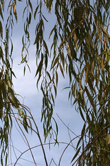 Under My Favorite Willow (alecia.marie) Tags: sky tree nature leaves pennsylvania branches curtain w willow letter hanging canonrebelxti