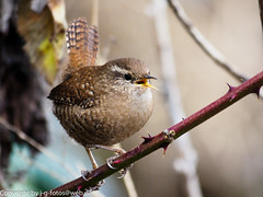 Eurasian Wren (xrxss15) Tags: birds animals germany tiere europe wrens animalia excursion badenwürttemberg zaunkönig troglodytestroglodytes troglodytidae eurasianwren
