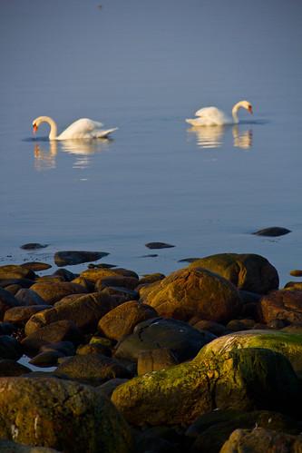 Swans/svanar
