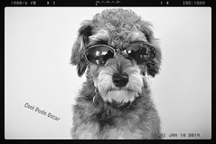Cool Dude Oscar (missgeok) Tags: lighting portrait blackandwhite bw hairy dog cute monochrome sunglasses closeup composition pose puppy cool nice mix furry colours angle artistic expression gorgeous sydney creative adorable handsome australia schnauzer shades poodle doggie cooldude schnoodle sunnies darkglasses supercool fourlegged funshot coolshot maledog dogwithsunglasses funimage nikond90 cooldudeoscar reflectionsonglasses