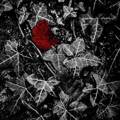 . . . square peg, round hole (orangecapri) Tags: red blackandwhite bw white black macro nature leaves closeup mystery dark mono foliage squareformat leafs redleaf darkart darkforest selectivecolour orangecapri
