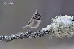 Crested Tit (Lophophanes cristatus) (Col-Page) Tags: