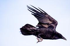 Taking Wing (sbisson) Tags: winter sunset sky bird evening nationalpark wings wildlife grandcanyon raven desertview