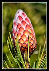 Cone (Dervish Images) Tags: newzealand plant macro garden botanical cone auckland pinecone aucklandbotanicalgardens dervishimages