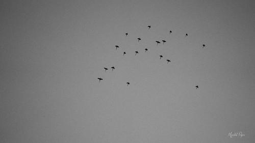 Flock of Freedom