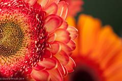 Planets (David S Wilson) Tags: uk flowers england gerbera ely fens flowersplants nikond90 davidswilson lightroom5 micronikkor40mmf28lens