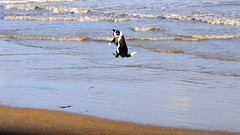 Leaping Dog (sab89) Tags: new dog dogs ball river flying jumping brighton catching catch leaping mersey wallasey wirral merseyside