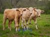 Springtime in Texas (Amy Hudechek Photography) Tags: flowers field cow spring texas bluebonnets calves happyphotographer texasspring12 amyhudechek