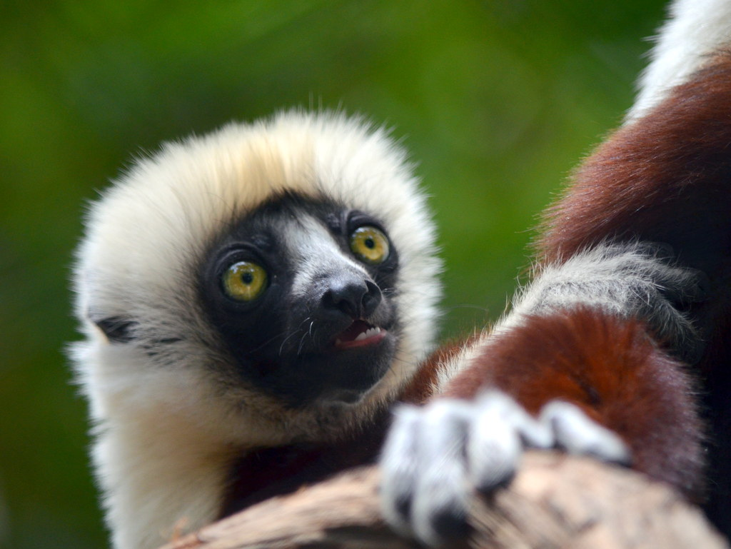 lemur research paper Essays research papers - the ring tail lemur essay on the lemur and the gibbon - where did we come from.