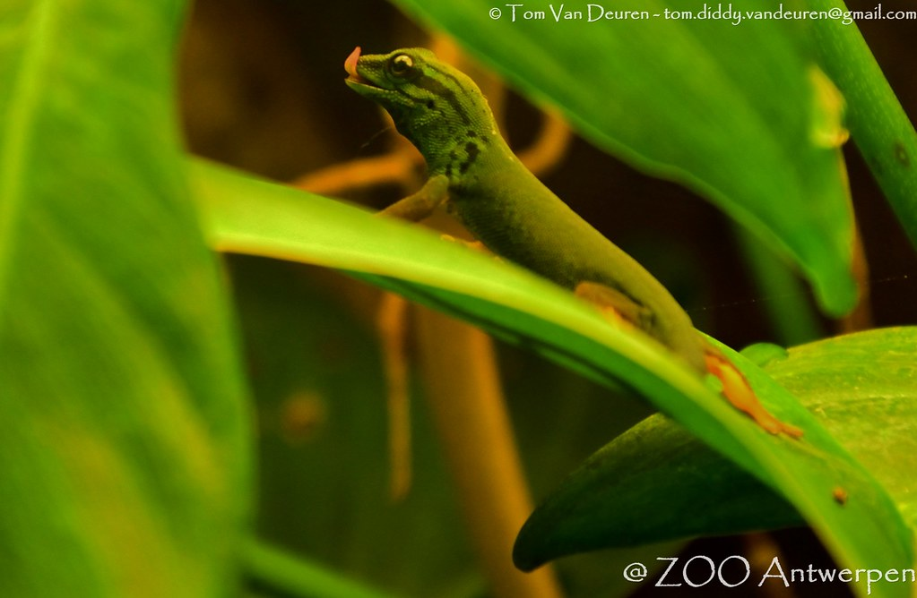 the world s best photos of gecko and tongue   flickr hive mind