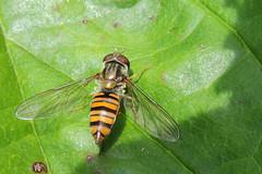 Fly hover Episyrphus balteatus Suffolk 23.5.2014 (Margaret the Novice) Tags: flies hoverflies
