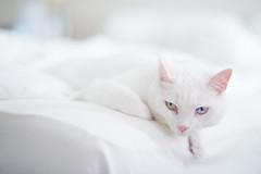June on white (kakissel) Tags: white june cat highkey oddeyed heterochromia